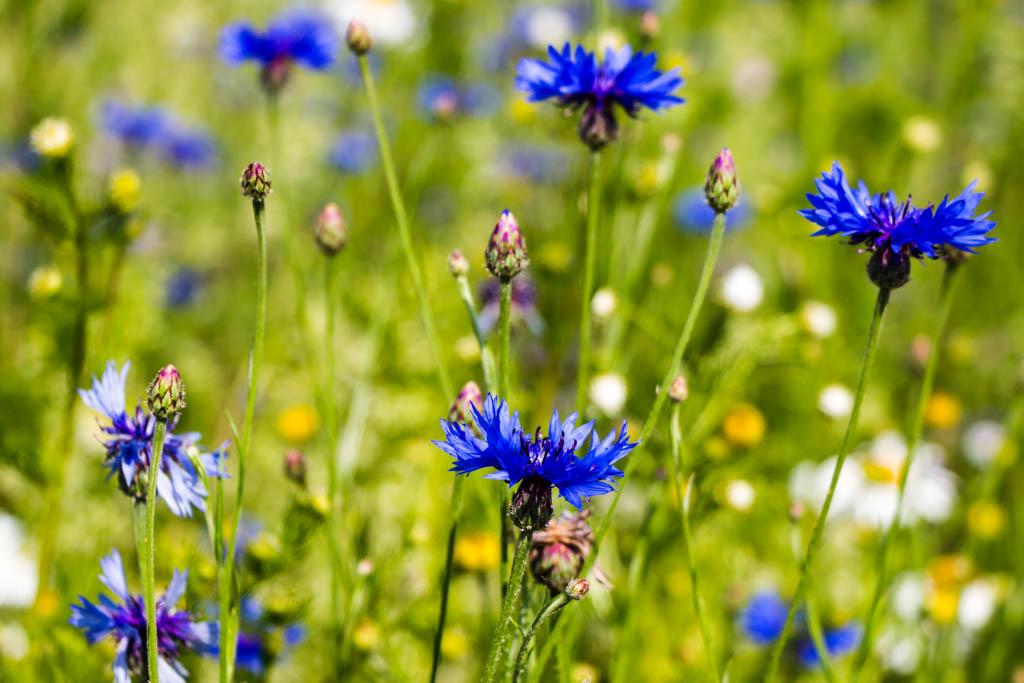Kornblumen - schön und selten