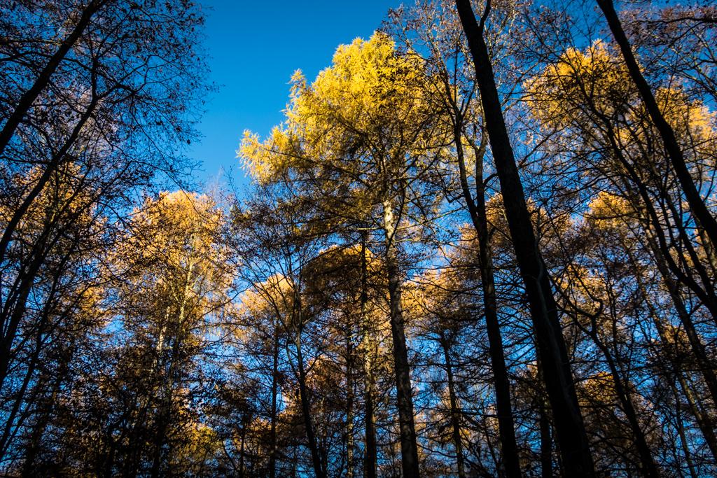 Lärchen im Herbstlicht
